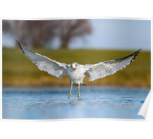 Low Angle Ring-billed Gull Landing. Poster
