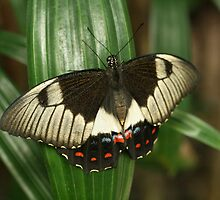 Hi! My name is Orchard Swallowtail. What's yours? by missmrg
