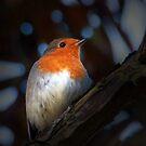 Robin by Alan McMorris