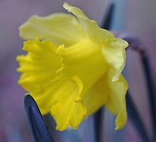 Daffodilly by jayneeldred