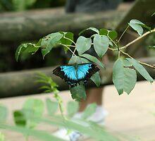 Ulysses Butterfly by missmrg