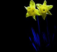 blue lights on daffodils by imagesbyhanson