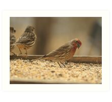 Red House Finch Art Print