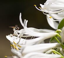 A Hoverfly on the Agapanthus by barrycallister