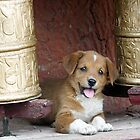 Tikse Puppy by Mark Phillips Photography
