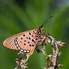 Acraea oncaea by Peter Wickham