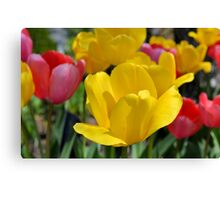 Pink and Yellow Garden Tulips Canvas Print