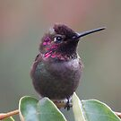 Calliope Hummingbird male from SD Balboa park by loiteke