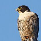 Peregrine Falcon ~ Natures Speed Machine  by Robert Elliott
