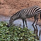 Zebra by Stacey Pritchard