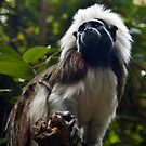 Cotton-top Tamarin by Stacey Pritchard