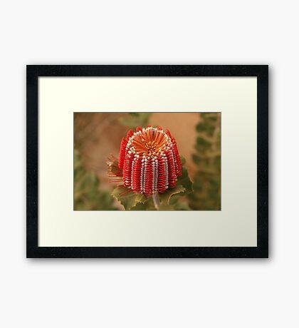 Scarlet Banksia Framed Print