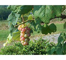 Fruit of the Vine Photographic Print