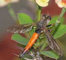 Roofvlieg - Synolcus dubius - Robber Fly by Rina Greeff
