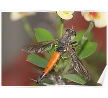 Roofvlieg - Synolcus dubius - Robber Fly Poster