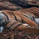Sleeping tiger by Stacey Pritchard