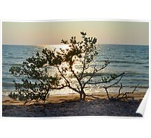 Tree on Coast at Sunset Poster