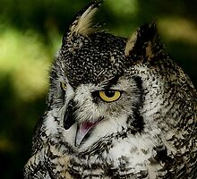 Long Eared Owl at York Museum Gardens by Photography  by Mathilde