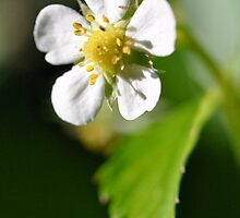 wild strawberry by Jari Hudd