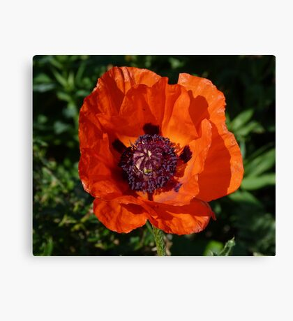 Big Red Poppy Canvas Print