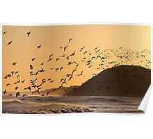 Oystercatchers at sunset Poster