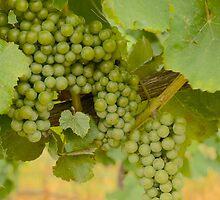 Wine Season by leslie wood