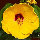 Yellow Hibiscus with Ruby Center by Bryan D. Spellman