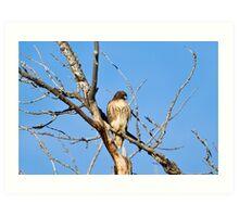 Red-tailed Hawk - Buteo jamaicensis Art Print