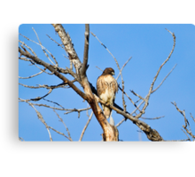 Red-tailed Hawk - Buteo jamaicensis Canvas Print