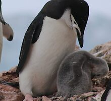 Chinstrap penguins in Antarctica,    15 by Janai-Ami