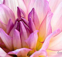 Pink Dahlia 2 by Anita Pollak