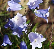 Harebell Group by kalaryder