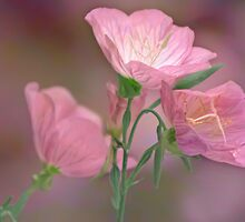 Pink Evening Primrose by KatMagic Photography