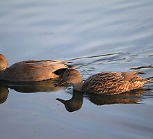 Reflection of a Gadwall by NewfieKeith