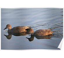 Reflection of a Gadwall Poster