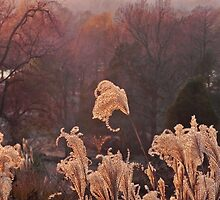 Tassel Grass with Evening Light by bannercgtl10