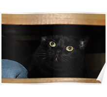 Cat in a dresser drawer Poster