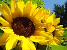 Summer Sunflowers Garden Fine Art Prints by BasleeArtPrints