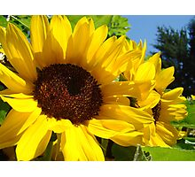 Summer Sunflowers Garden Fine Art Prints Photographic Print