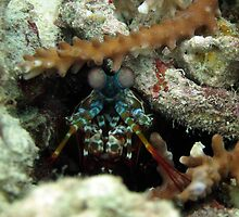 mantis shrimp by Michelle Jonker