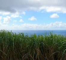Run Island, sugar cane by Pantanet