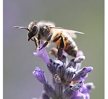Bee May 2012 Photographic Print
