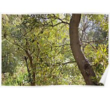 banksias backlit Poster