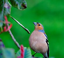Chaffinch, (Fringilla Coelebs), County Kilkenny, Ireland by Andrew Jones
