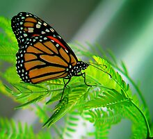 MONARCH ON A FERN  by Johan  Nijenhuis