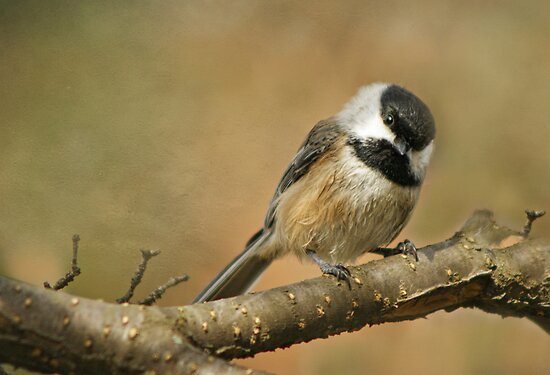 The Ever Cheerful.... Black-capped Chickadee by KatMagic Photography