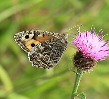 Grayling Butterfly on Knapweed, Ystrad Mynach (South Wales) by Michael Field