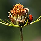 The Ladybird. by debjyotinayak