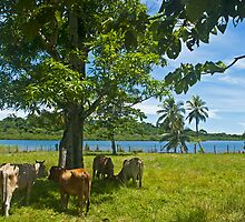 Cows. by bulljup