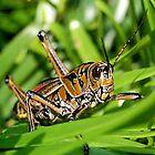 Lubber Grasshopper by Kathy Baccari
